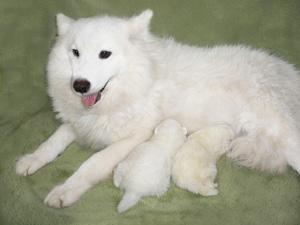 母犬-サモエド 子犬-サモッツ
