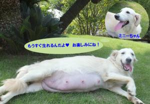 妊婦の母犬ミニー