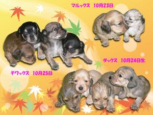 ダックス系 3犬種の子犬