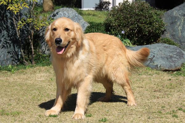 ゴールデンレトリバーは、ご紹介するとすぐにご予約が入るような人気ランキング上位の犬種です! 今回ご紹介するのは生後10か月の男の子の  「アスラン君」です。